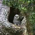 Barred Owlet by Myrna Bradshaw