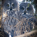 Barred Owls by Philip Rispin