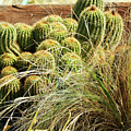 Barrel Cacti by Joyce Dickens