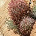 Barrel Cactus by Chuck Wedemeier
