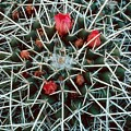 Barrel Cactus With Pink Blooms by Laurie Paci