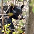 Bashful Black Bear by David Porteus