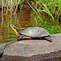 Basking Blanding's Turtle by Debbie Oppermann