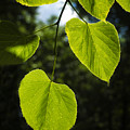 Basswood Leaves Against Dark Forest Background by Donald  Erickson