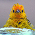 Bath Time Finch by Lori Seaman