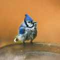 Bathing Blue Jay by Clare VanderVeen