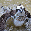 Bathing Osprey Bird Splashing About by DejaVu Designs