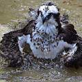 Bathing Osprey In Shallow Water by DejaVu Designs