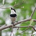 Batis Bird by Susan Stumpf