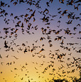 Bats At Bracken Cave by Michael Tidwell