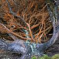 Battered Cypress With Orange Alga by Kathleen Bishop