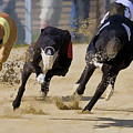 Battle Of The Racing Greyhounds At The Track by Elaine Plesser