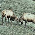 Battling Elk by Adam Jewell