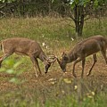 Battling Whitetails 0102 by Michael Peychich