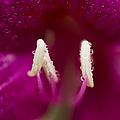 Bauhinia Blakeana Hawaiian Orchid Tree Floral Macro by Sharon Mau