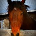 Bay Horse by Karolina Beattie