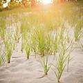 Beach Grasses Number 3 by Steve Gadomski
