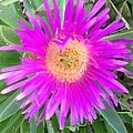 Pink Beach Succulent  by Karen Moren