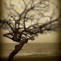 Beach Tree by Perry Webster