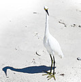 Beached Egret-bonita Beach Fl by J Darrell Hutto