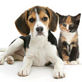 Beagle And Calico Cat by Mark Taylor