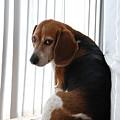 Beagle Attitude by Jennifer Ancker
