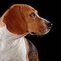 Beagle by Hugo Orantes