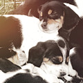Beagle Pile by JAMART Photography
