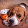 Beagle by Sergio Nevado