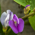 Beaked Butterfly Pea 9 by Nancy L Marshall