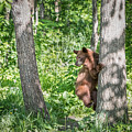 Bear Cub Climb by Patti Deters