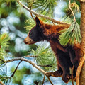 Bear Cub In A Tree 3 by Ernie Echols