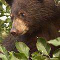 Bear Cub In Apple Tree1 by Loni Collins