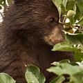Bear Cub In Apple Tree3 by Loni Collins