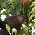 Bear Cub In Apple Tree4 by Loni Collins