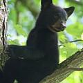 Bear Cub In Tree by Deborah M Rinaldi