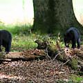 Bear Cubs by James Jones