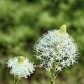 Bear Grass Blossom by Marie Leslie