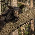 Bear In Tree by Mary Jo Cox