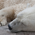 Bear Nap by Cindy Haggerty