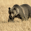 Bear On The Prowl by Gary Beeler
