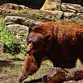 Bear Pacing by Judy Vincent