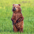 Bear Standing Tall by Mike Centioli