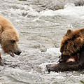 Bear Watches Another Eat Salmon In River by Ndp