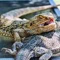 Bearded Dragon Friends by Eddie Yerkish