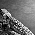 Bearded Dragon by Kyle Farr