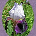 Bearded Iris Blossom by Mother Nature