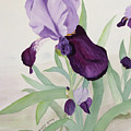 Bearded Iris by Bonnie Young