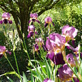 Bearded Iris  by Holly Way