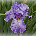 Bearded Iris by Suzanne Stout